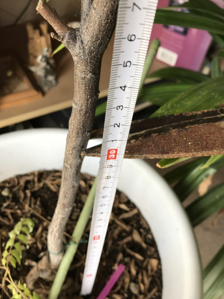 prune at 40 cm